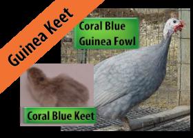 Coral Blue Keet
