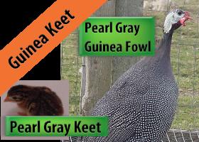 Pearl Gray Keet