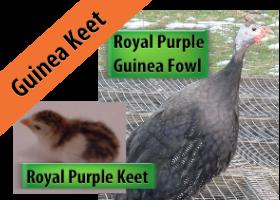 Royal Purple Keet