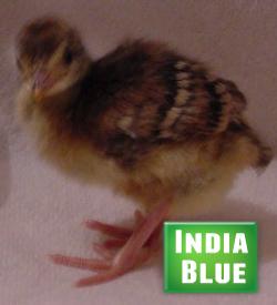 Peachick-India-Blue